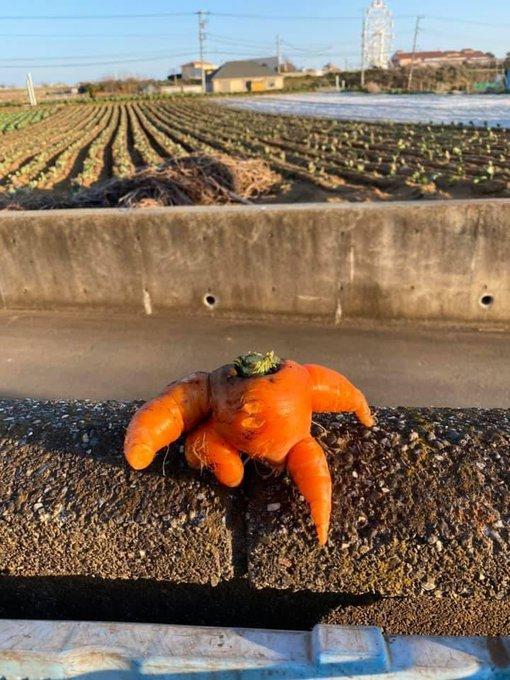 農家 ニンジン 収穫に関連した画像-06