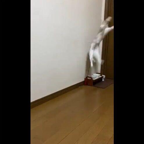 猫 猫じゃらし 一人遊びに関連した画像-05