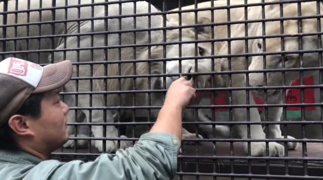 ちゅ〜る ライオン トラに関連した画像-14