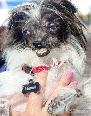 世界一醜い犬コンテストに関連した画像-04