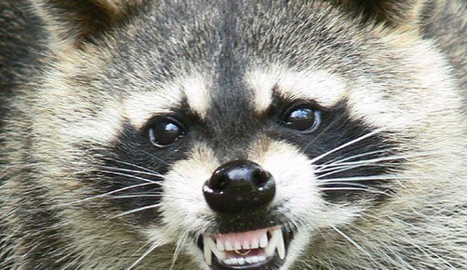 アライグマ 赤坂 動物 愛護 保護 殺処分に関連した画像-01