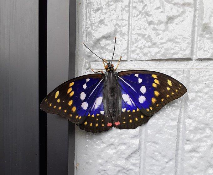 ツイッター 家 壁 蝶 オオムラサキ 国蝶に関連した画像-02