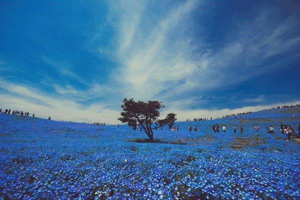 国営ひたち海浜公園 ネモフィラ 花畑 幻想に関連した画像-03