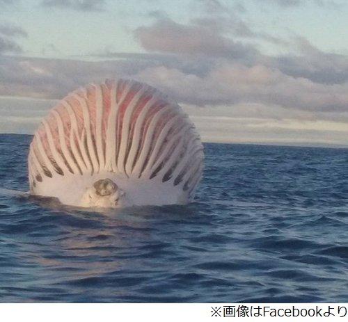 クジラ 死骸 ガス 膨らむ 球体 海 漁師に関連した画像-03