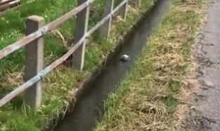 側溝 ハト 鳩に関連した画像-01