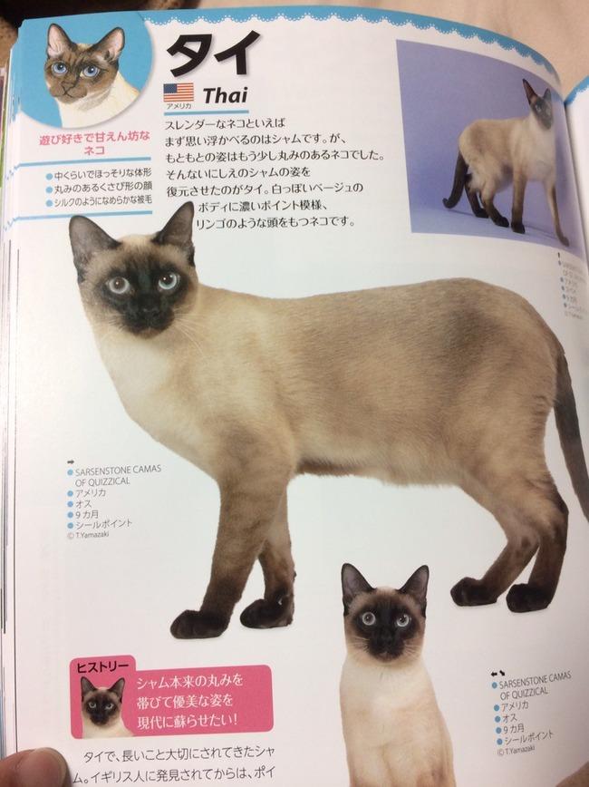 猫 シャム タイに関連した画像-03