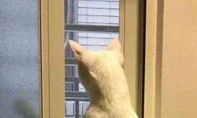 猫 ムキムキ キラークイーンに関連した画像-01