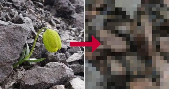 Fritillariadelavayi 人間 採取 影響 進化に関連した画像-01