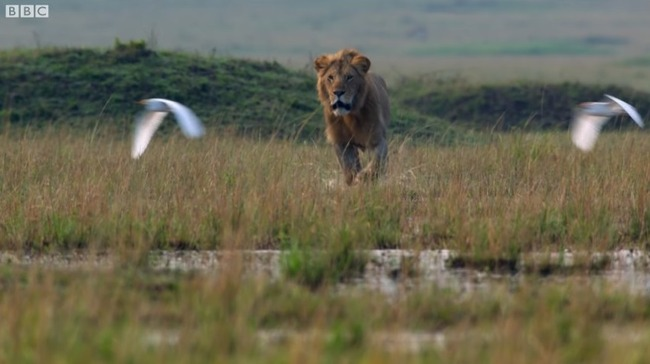 雄ライオン ハイエナ 20頭に関連した画像-08