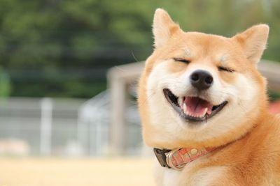 日本 柴犬 韓国に関連した画像-01