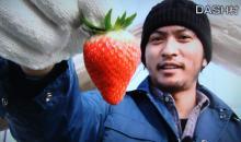 イチゴ 品種改良 TOKIO 農家 咲姫に関連した画像-01