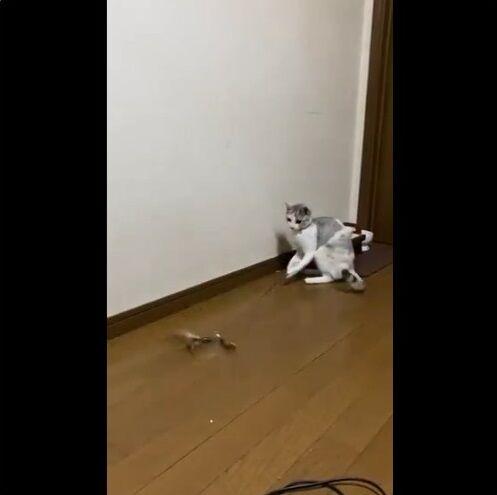 猫 猫じゃらし 一人遊びに関連した画像-02