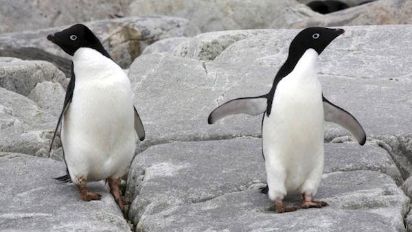 ペンギン 死亡 南極 アデリーペンギンに関連した画像-01