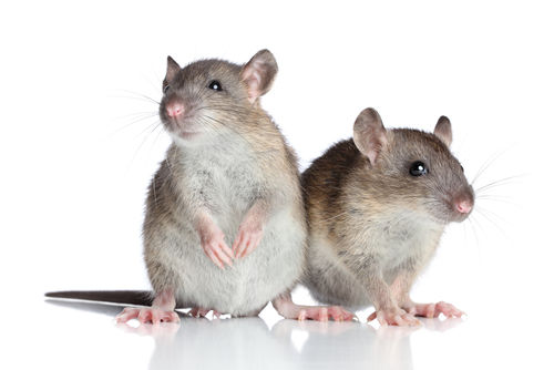 ネズミ 赤ちゃん 乳児 悲劇に関連した画像-01