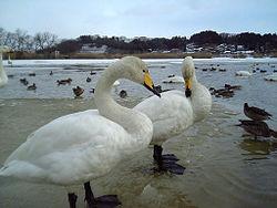 白鳥 伴侶 死骸 列車 遅延に関連した画像-01