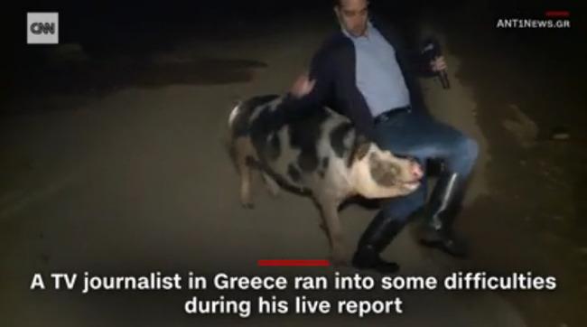 ブタ 生放送 リポーター ギリシャに関連した画像-03