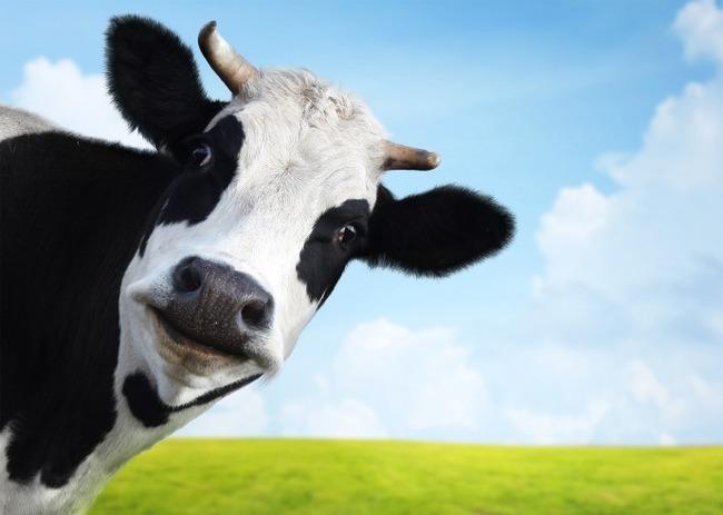 牛 巨大 オーストラリア ニッカーズに関連した画像-01