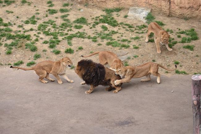 多摩動物公園 オスライオン フルボッコに関連した画像-02