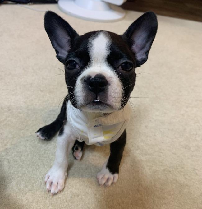ふくれな えむれな YouTuber 犬 ペットショップ ボストンテリア 保健所 嘘に関連した画像-13