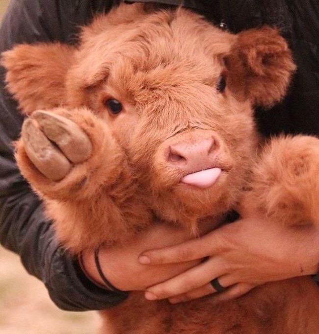 スコットランド 牛 モフモフに関連した画像-05