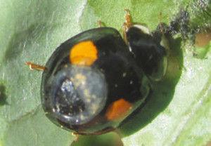 てんとう虫 害虫駆除に関連した画像-01