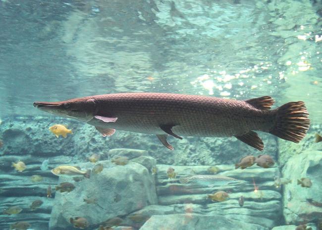 アリゲーターガー 名古屋城 お堀 捕獲 外来魚に関連した画像-03
