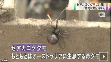 セアカゴケグモに関連した画像-01