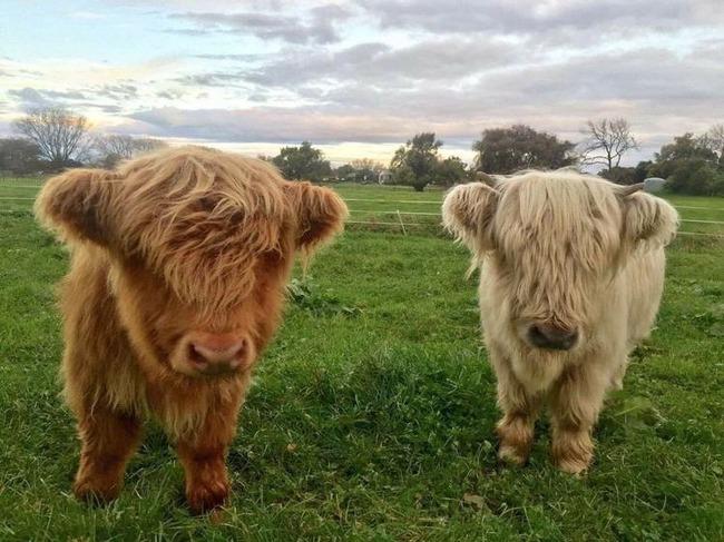 スコットランド 牛 モフモフに関連した画像-03