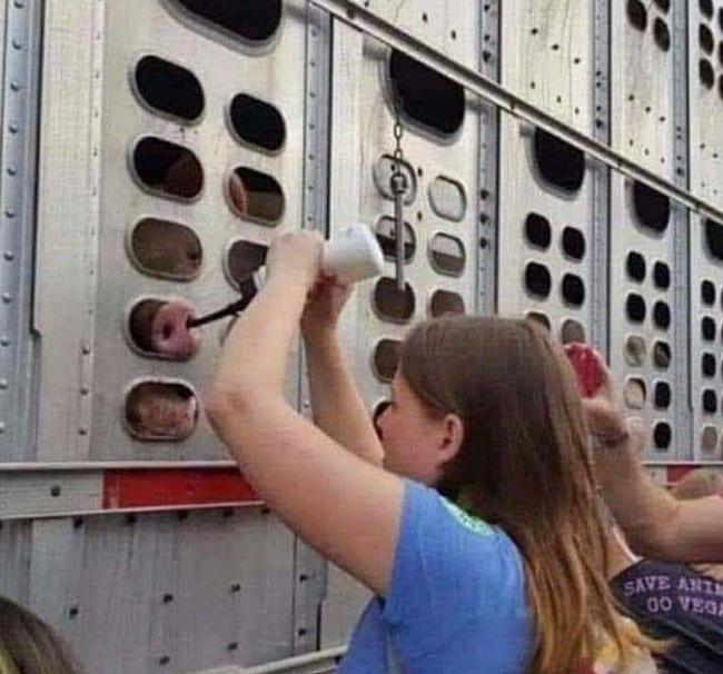 屠殺場 豚 ヴィーガン 水 水分 鼻 虐待に関連した画像-02