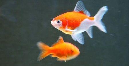 金魚 トイレ 女性 テレビに関連した画像-01