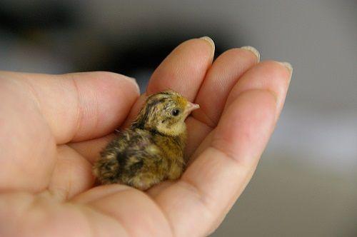 スーパー ウズラ 卵 孵化に関連した画像-01