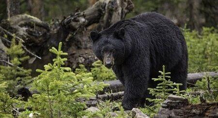熊 アメリカ 撃退 押す 素手に関連した画像-01