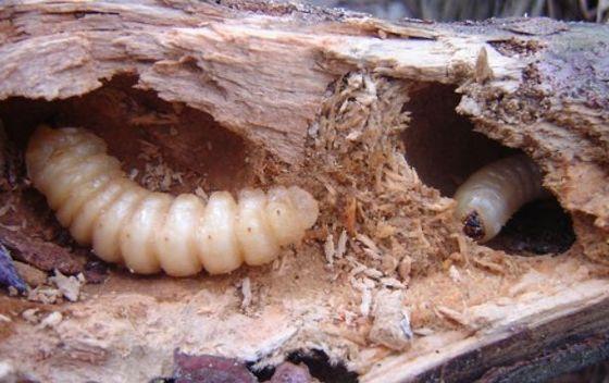 昆虫 研究家に関連した画像-03