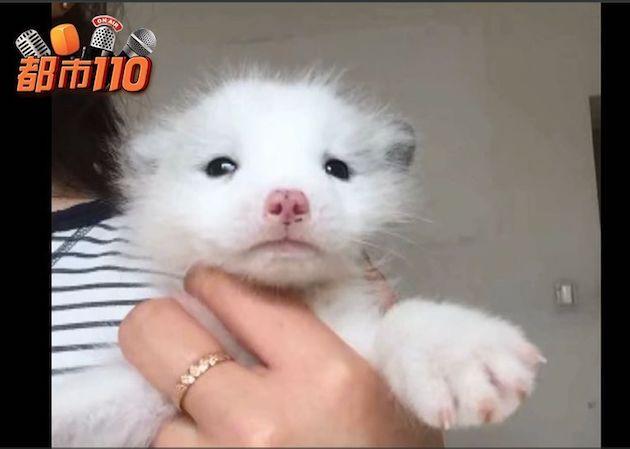中国 子犬 キツネに関連した画像-03