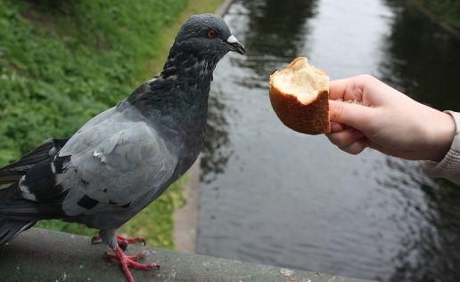 ハト パン エサに関連した画像-01