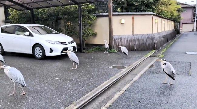鷺 サギ 集団 グループに関連した画像-03