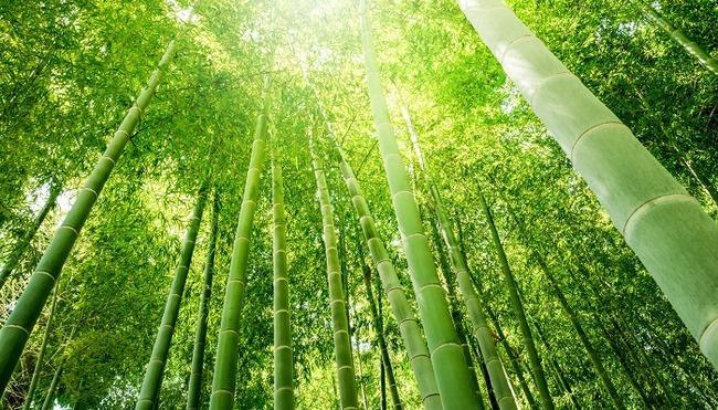 イギリス 竹 ブームに関連した画像-01