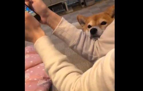 犬 柴犬 飼い主 ゲーム 夢中 可愛いに関連した画像-04