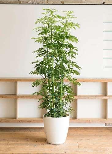 鉢植え カポック デカすぎに関連した画像-03