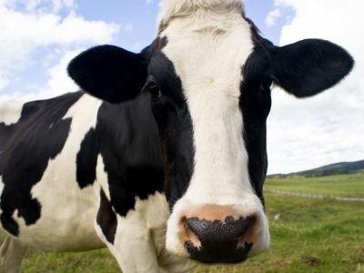 牛 ギネス 牛舎 牛乳 ギネス・ワールドレコード 世界最大に関連した画像-01