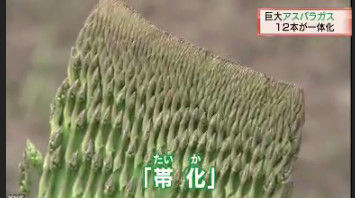 アスパラガス 巨大 北海道に関連した画像-08