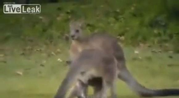 kangaroo-puts-another-kangaroo-to-sleeper-hold_580