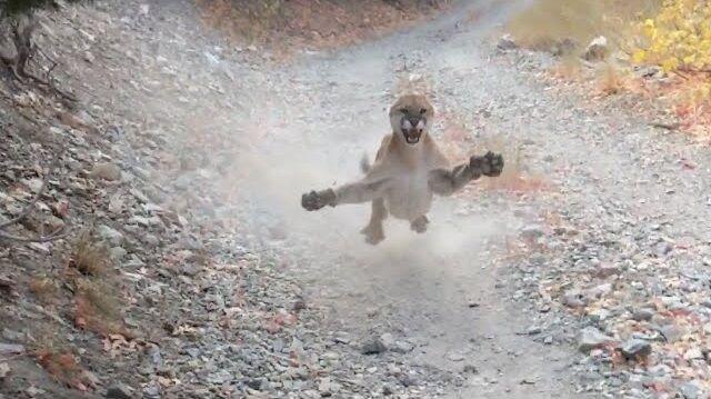 ハイキング ピューマ 遭遇 追跡 恐怖に関連した画像-01