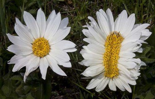 福島 花 帯化 放射能 ツイッター 奇形に関連した画像-05