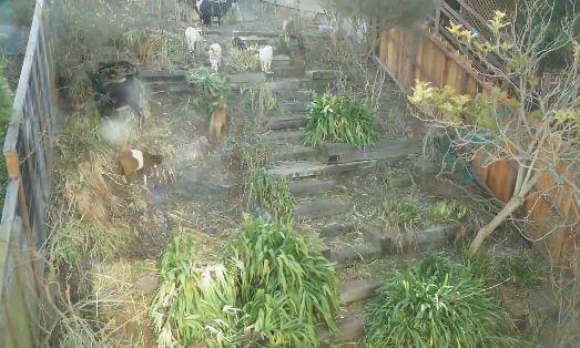 ヤギ 庭 雑草に関連した画像-05