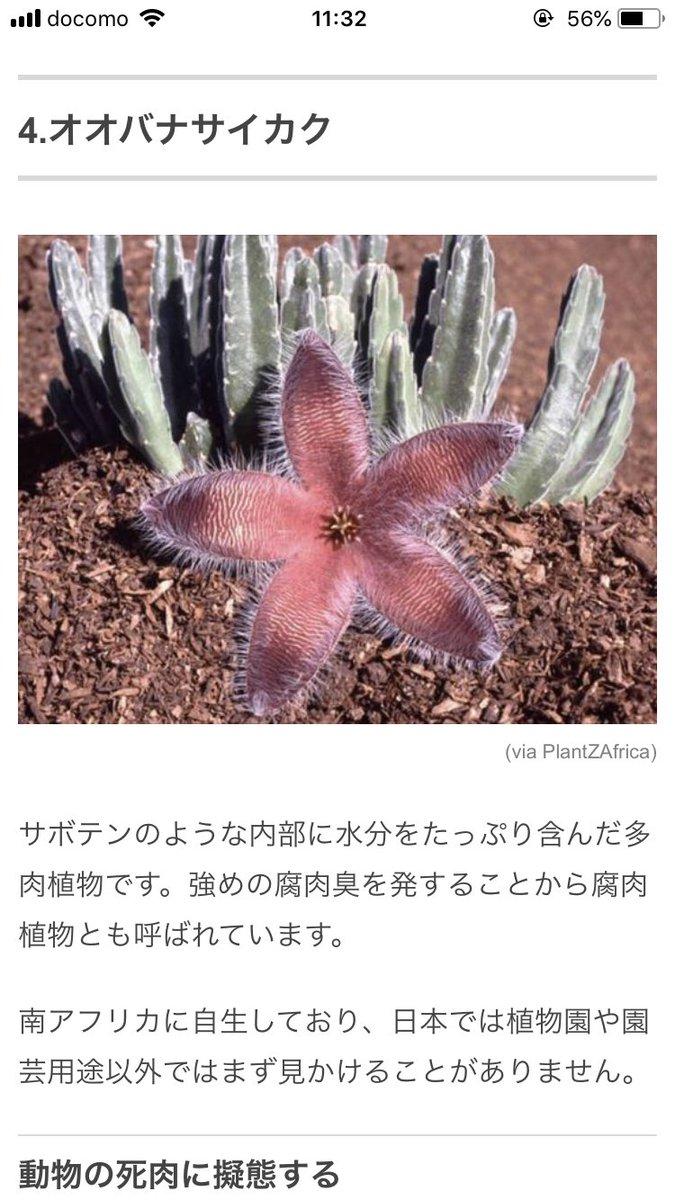 サボテン オオバナサイカク 腐肉植物に関連した画像-05
