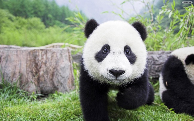 beautiful_panda_wallpaper_5b544