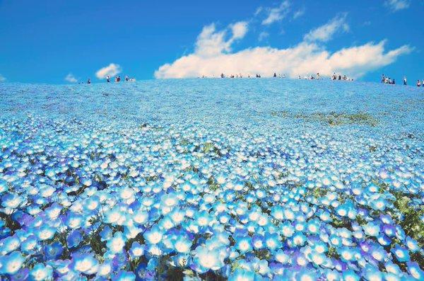 国営ひたち海浜公園 ネモフィラ 花畑 幻想に関連した画像-04