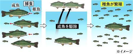 琵琶湖 ブラックバス 稚魚に関連した画像-03