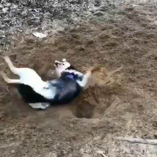犬 穴掘り テンションに関連した画像-07